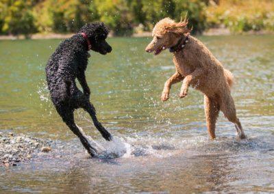 Poodles Rhonda! and Susie Dancing in the water #poodles #standar